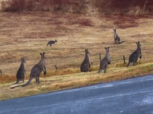 Roos in the Rain